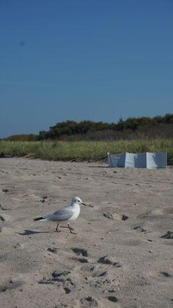 strandmöwe