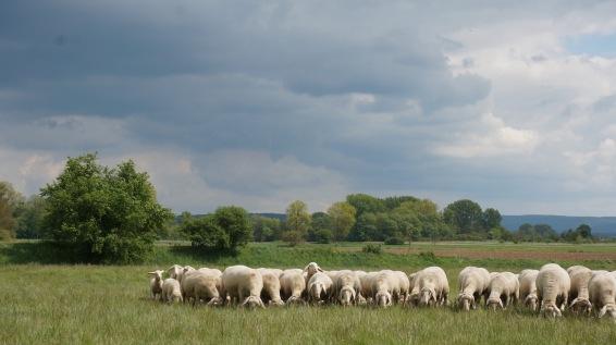 herdengrasen